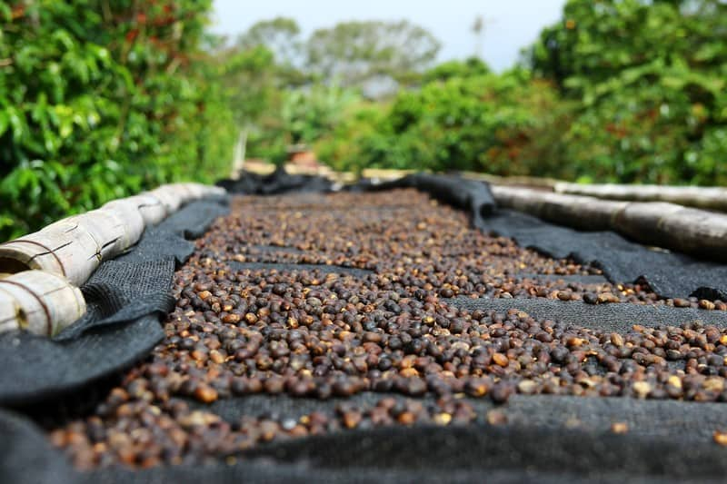 Panama Geisha Coffee Bean Cherries Drying